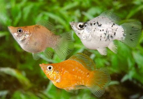 Assorted balloon molly live fish mollies product detail premier pet pty ltd