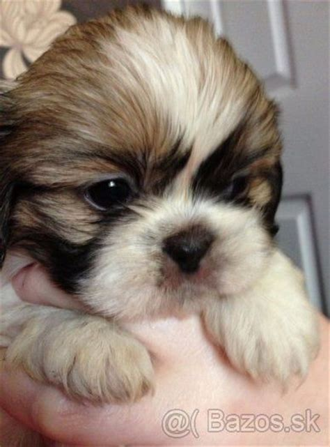 how big does a teacup shih tzu get shih tzu shitzu sicu shi tzu mini 1 shih tzu shih tzu