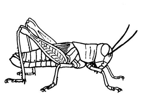 Grasshopper Coloring Page free printable grasshopper coloring pages to print barriee