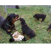 Displaying 16&gt Images For  Rottweilers Vs Pitbulls