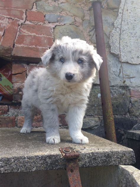 blue merle border collie puppies for sale blue merle border collie puppy for sale bridgwater somerset pets4homes
