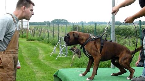 what dog you got boxing forum the world s 10 most dangerous dog breeds by fatalities