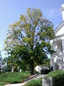 maple tree decline my ten year maple tree appears to developed a blight in the branches and it