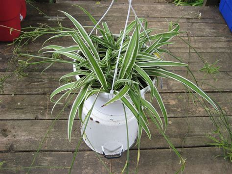 spider plant learn about the care of spider plants