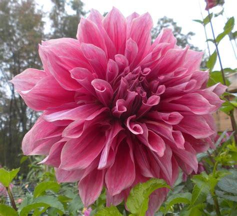 dalia in vaso fiori dalia fiori delle piante