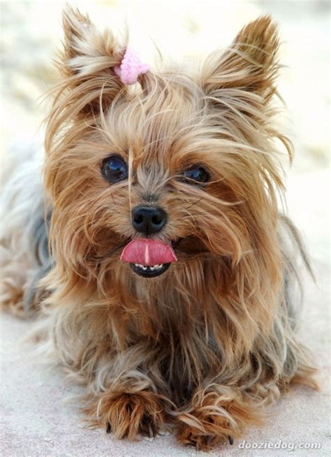 allergic to yorkie terrier 7 breeds of dogs that are best for with