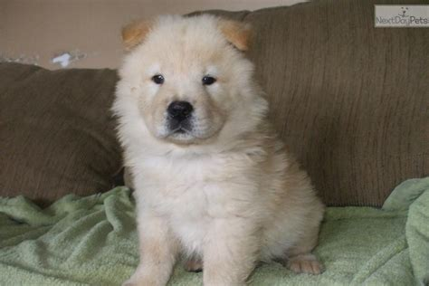 chow chow puppies for sale near me chow chow puppy for sale near springfield missouri c16659ac 0b21