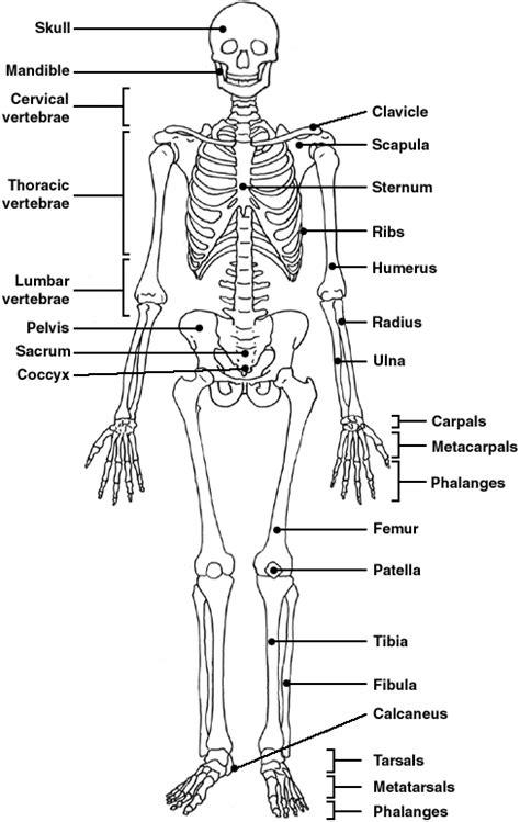 skeletal system diagram pdf skeleton diagram patient