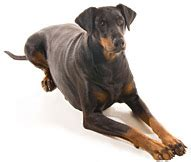 cat facts the pet parent s a to z home care encyclopedia books doberman breeds information about doberman dogs