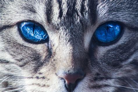 Cat Eye Blue Berkualitas free images nature animal fur portrait
