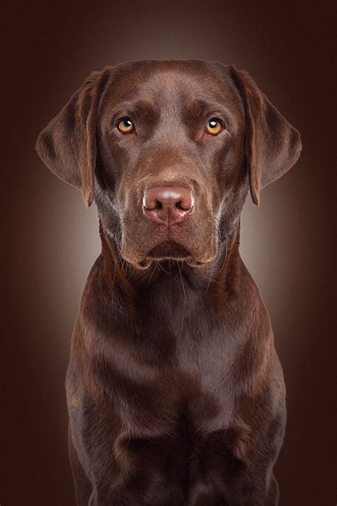 chocolate lab puppies ta 25 best ideas about chocolate labs on