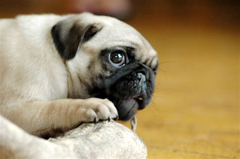 5 week pug 1000 images about dogs on pug a pug and baby pugs