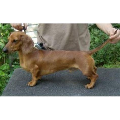dachshund puppies iowa dachshund doxie breeders in iowa freedoglistings