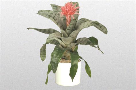 Silver Vase Plant by 10 In Aechmea Fasciata Silver Vase