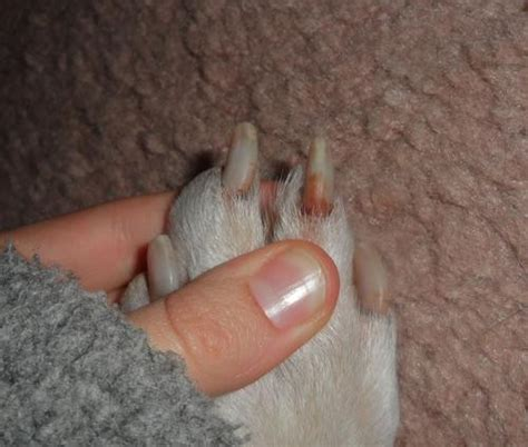 dog nail bed infection nail bed infection in dogs