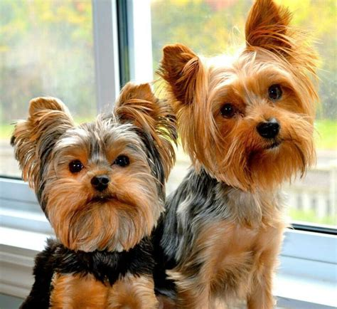 how to potty my yorkie 950 best images about yorkies on best terrier yorkie and