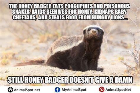 Meme Honey Badger - honey badger memes