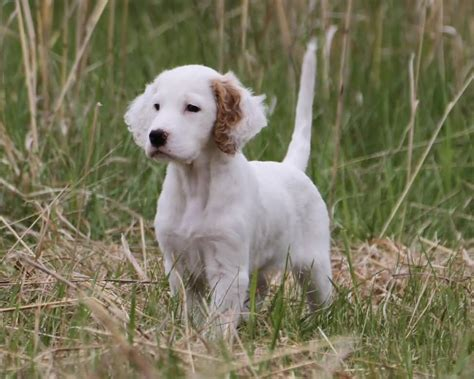 english setter dog pictures cute white english setter puppy in meadow
