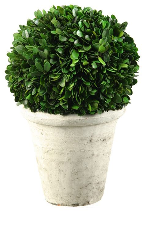 topiary balls in planters 131017 d w silks preserved boxwood topiary in