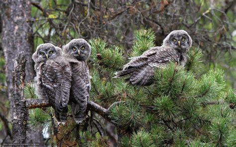 grey owl wallpaper download wallpaper grey owl owls branch pine free