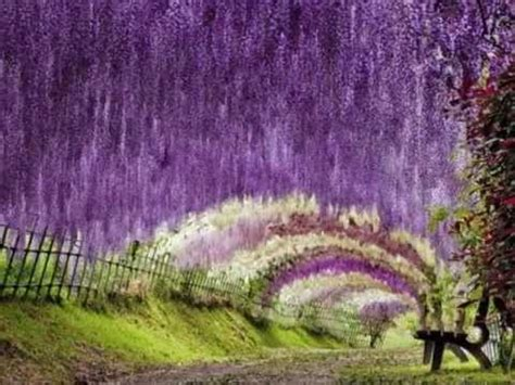 Wisteria Flower Tunnel by Kawachi Fuji Garden Japan Youtube
