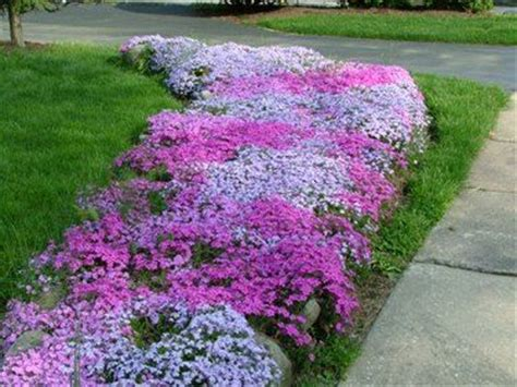 creeping phlox as a ground cover for the bed on the west side of the house which is mostly