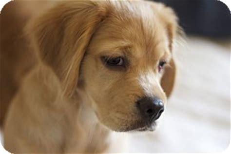 golden retriever rescue santa barbara teddy adopted puppy santa barbara ca cocker spaniel golden retriever mix