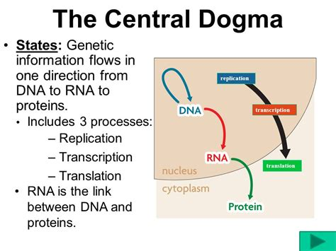 section 3 dna rna and protein chapter 12 section 3 dna rna and protein 28 images