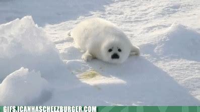 harp seal baby | tumblr