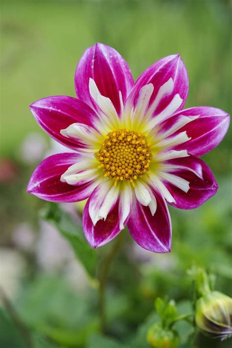 yankee doodle flower 39 best images about favourite dahlias on