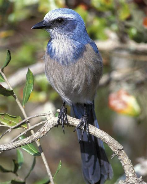 florida scrub jay audubon field guide