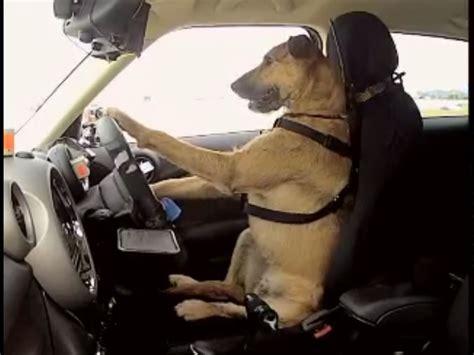 dog driving boat video chien qui conduit une voiture en nouvelle zelande