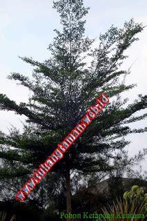 Bibit Buah Naga Bekasi jual tanaman hias murah www tukangtaman web id jual
