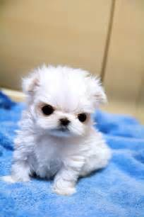 maltese puppies for sale in ms teacup maltese ms puppy connection