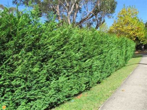 Is Leyland Cypress Still The Tree To Plant I Think Not | leyland cypress trees the planting tree