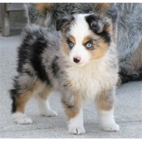 australian shepherd puppies in michigan story aussies miniature australian shepherd breeder in flint michigan 48506