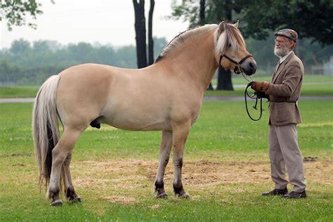 fjord paard 15 de las razas de caballos m 225 s hermosos que han existido