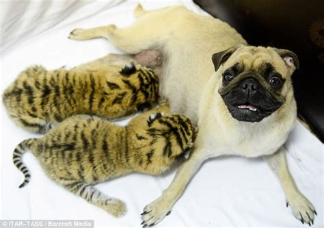 the tigers pug resort how a s can extend across species pictures show a pair of pugs