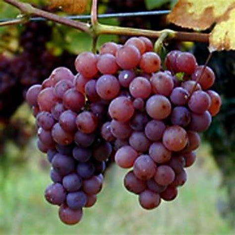 imagenes las uvas beneficios y peligros del aceite de semilla de uva
