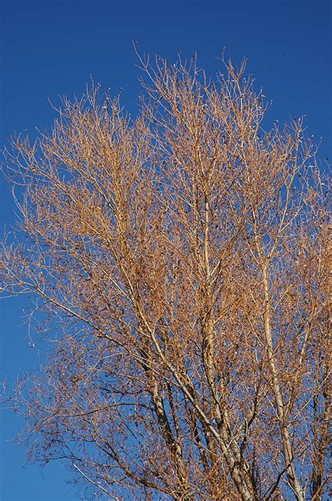 golden willow salix alba vitellina  edmonton