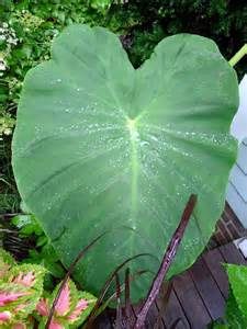 elephant ear plant how to take care of an elephant ear plant