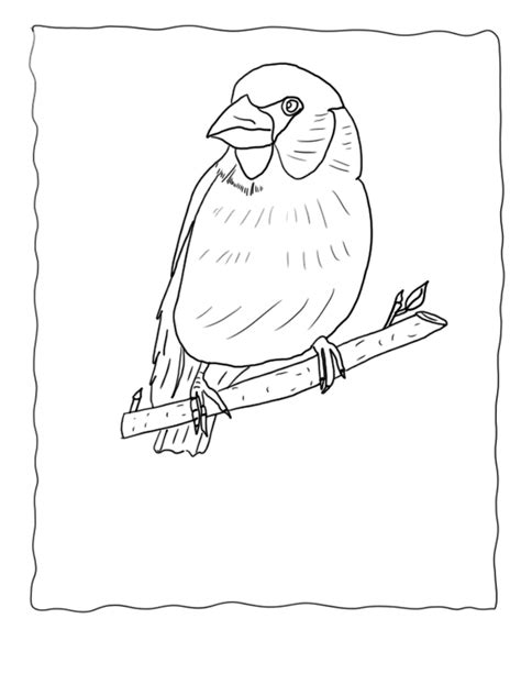yellow finch coloring page finch coloring pages hawfinch echo s bird coloring pages
