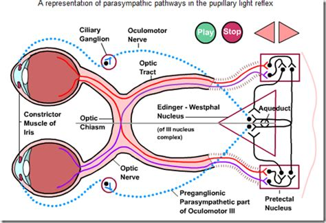 pupillary light reflex pathway images frompo