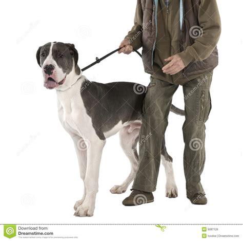 6 month puppy behavior great dane puppy on a leash 6 months stock photo image of deutsche 9087126