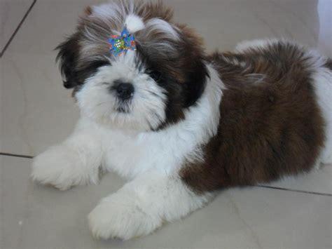 shih tzu tricolor lindo filhote de shih tzu bem pequeno tricolor 3 meses vazlon brasil