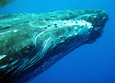 whale eye image gallery humpback whale eye
