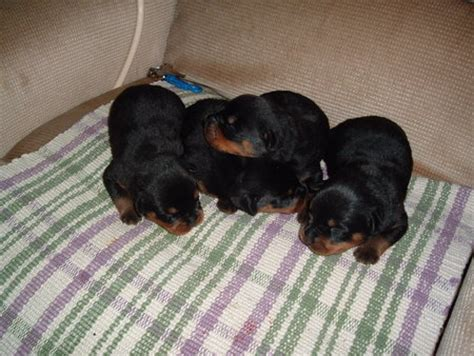 baby rottweilers baby rottweilers dogs animals background wallpapers on desktop nexus image 54288