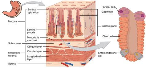 stomach cross section 23 4 the stomach anatomy and physiology