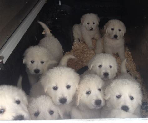 sheepdog puppies for sale maremma sheepdog puppies for sale caerphilly caerphilly pets4homes