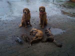 golden retrievers to hunt working golden retriever history